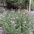 播州清水寺で見つけた「アサギマダラ」