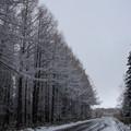 Photos: 雪化粧の防風林