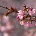 2021年の桜_1