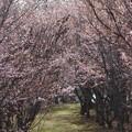 2021年の桜の小径