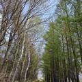新緑色づく落葉松