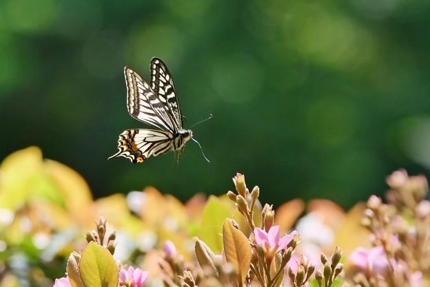 蝶の季節がやって来た シャリンバイにアゲハチョウ