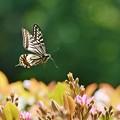 Photos: 蝶の季節がやって来た シャリンバイにアゲハチョウ