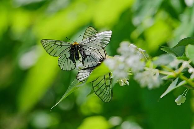 蝶の季節がやって来た ミツバウツギにウスバシロチョウ