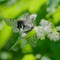 Photos: 蝶の季節がやって来た ミツバウツギにウスバシロチョウ