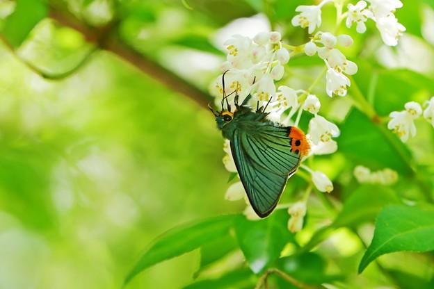 蝶の季節がやって来た ミツバウツギにアオバセセリ