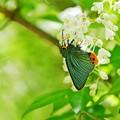 Photos: 蝶の季節がやって来た ミツバウツギにアオバセセリ