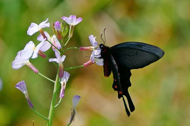 蝶の季節がやって来た ハナダイコンにジャコウアゲハ