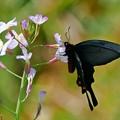 Photos: 蝶の季節がやって来た ハナダイコンにジャコウアゲハ