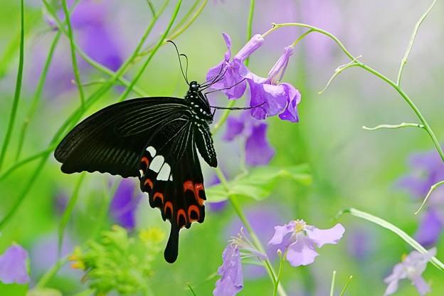 蝶の季節がやって来た ムラサキハナナにモンキアゲハ