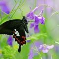 Photos: 蝶の季節がやって来た ムラサキハナナにモンキアゲハ