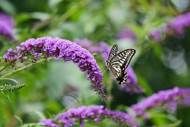 ブッドレアにアゲハチョウ。