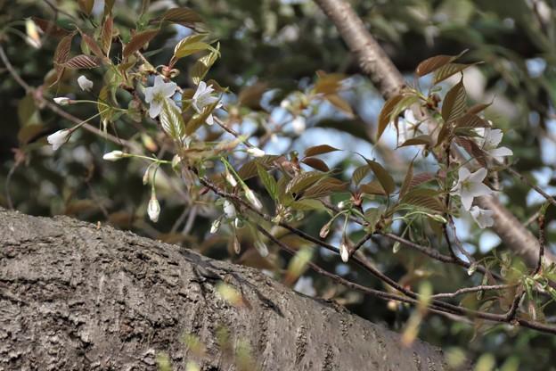 Photos: 山桜咲き出す