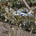 山桜咲き出す