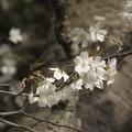Photos: 霞桜