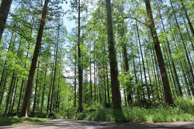 メタセコイアの林