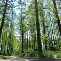 Photos: メタセコイアの林