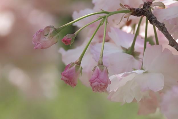 Photos: 松月の蕾