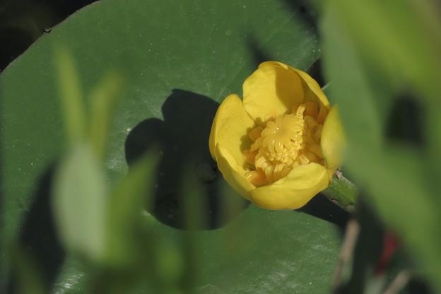 Photos: 黄色い萼