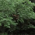 Photos: 桜木紅葉