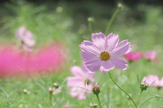 Photos: 秋桜子