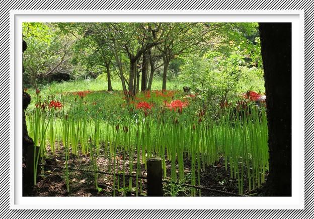 彼岸花の花園