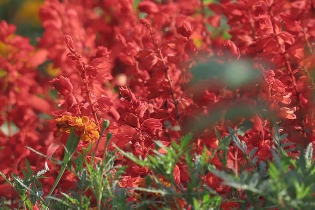 Photos: 赤いサルビア