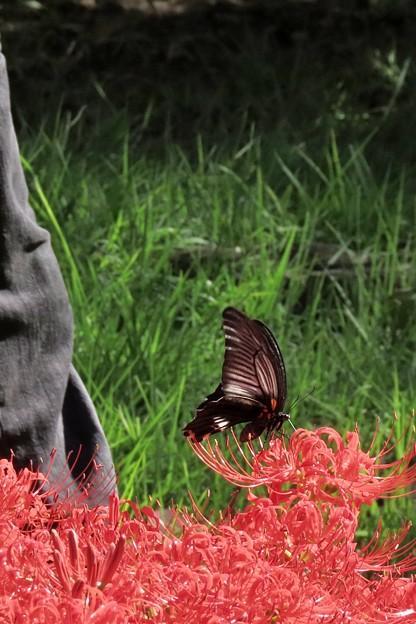 ナガサキアゲハと彼岸花