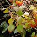 ガマズミ属紅葉