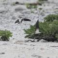 Photos: マミジロアジサシ