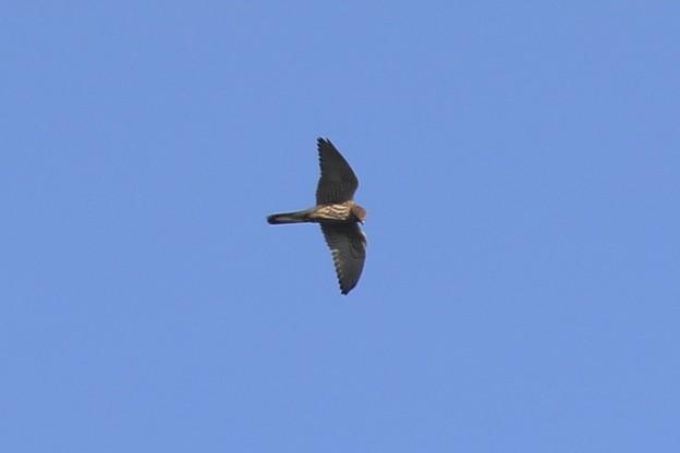 南下する小さな翼