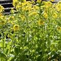 梅田の里山の菜の花 (1)
