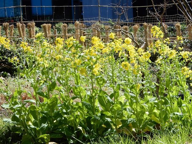 梅田の里山の菜の花 (2)
