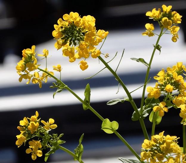Photos: 梅田の里山の菜の花 (3)