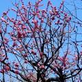 梅田の里山の紅梅