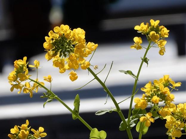 Photos: 梅田の里山の菜の花 (4)
