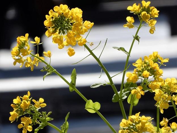 Photos: 梅田の里山の菜の花 (5)