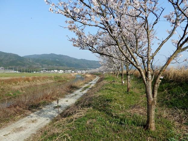 桂川(保津川)左岸の桜並木