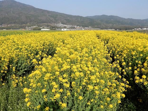 菜の花畑 (1)
