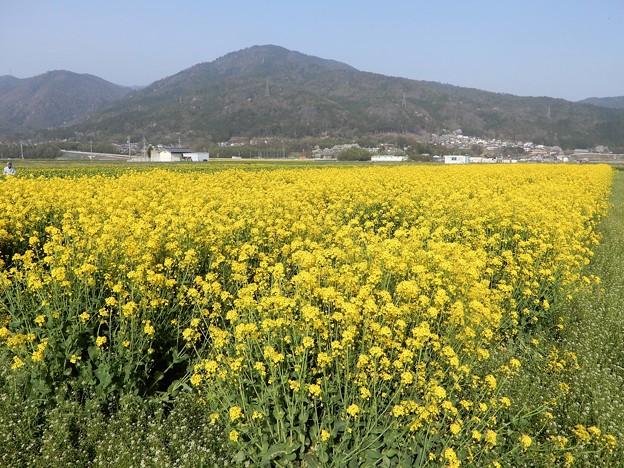 菜の花畑 (2)