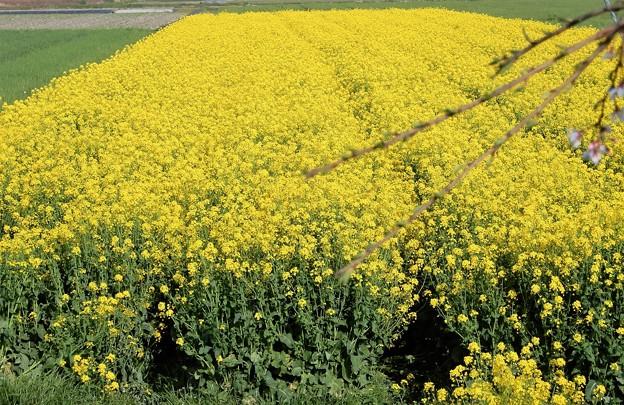菜の花畑 (4)