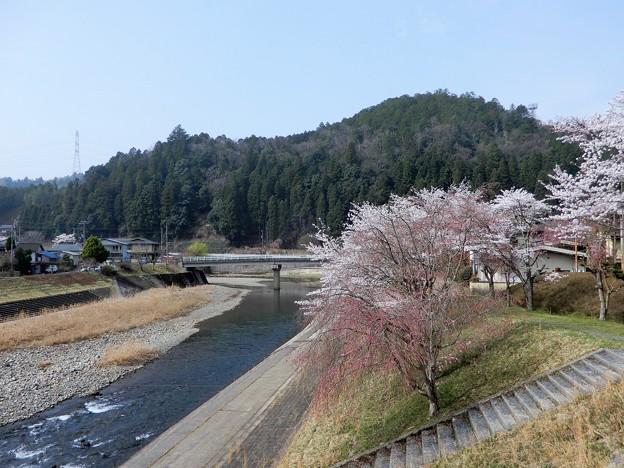 R162から上桂川右岸の桜