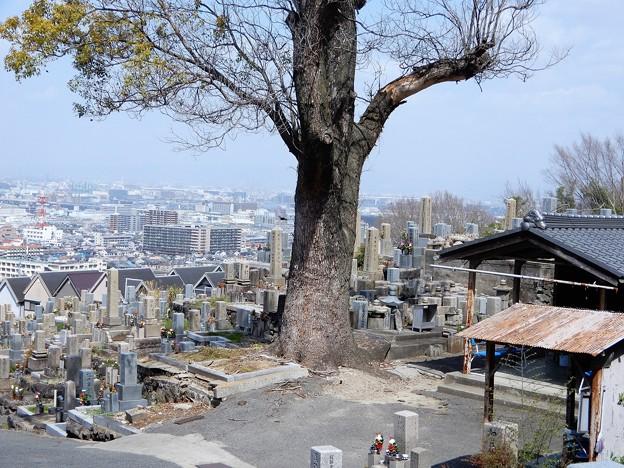 墓地とクスノキ (1)