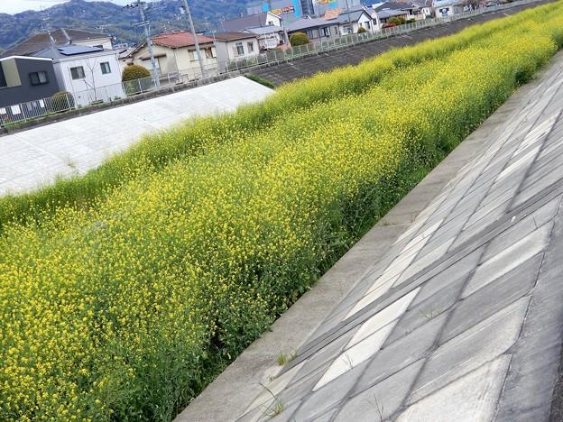 恩智川のセイヨウカラシナ (1)