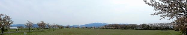 05醍醐池・桜と菜の花 (1)