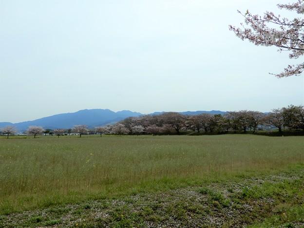 05醍醐池・桜と菜の花 (2)