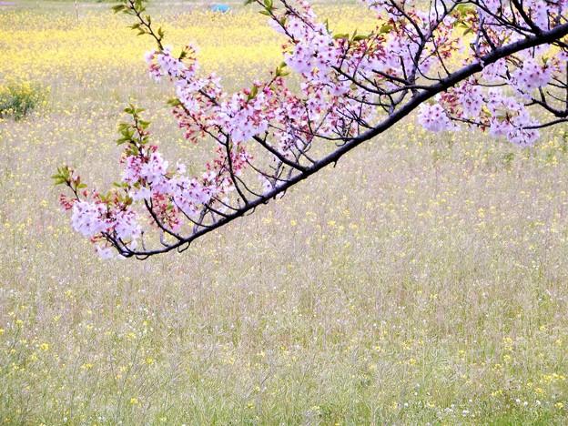 05醍醐池・桜と菜の花 (3)