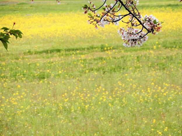 05醍醐池・桜と菜の花 (4)