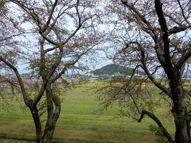 05醍醐池・桜と菜の花 (5)