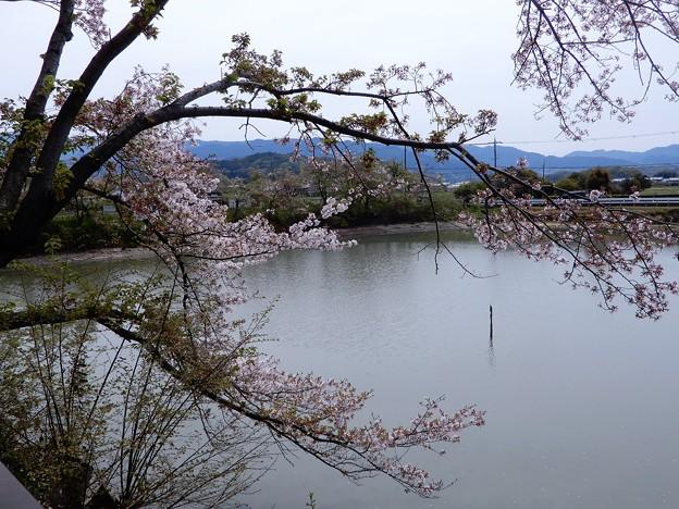 05醍醐池・桜と菜の花 (6)